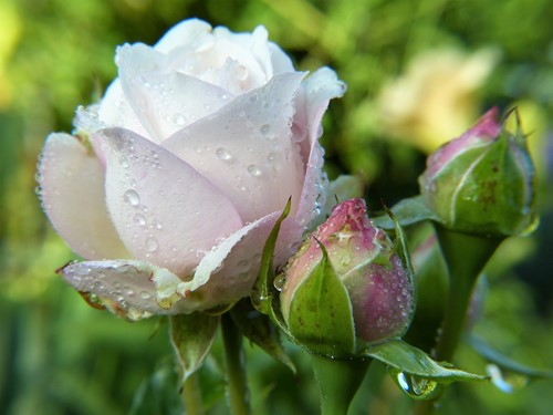 Gardening Tips for Growing Roses in a Warmer Climate