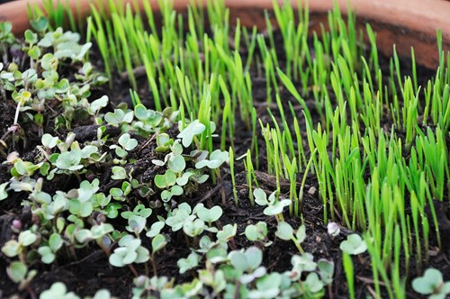 Home Living: How to Grow Your Own Microgreens for Fresher Meals