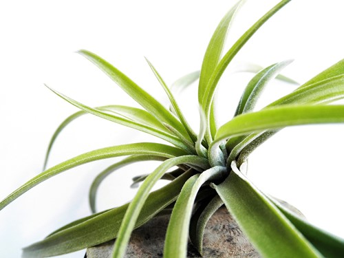 Houseplants: Display Your Air Plants With These 5 Ideas