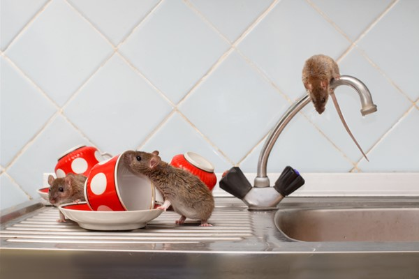 How to Prevent a Rat Infestation in Your Home