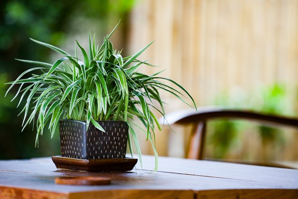 Grow These Plants Indoors for Cleaner Air