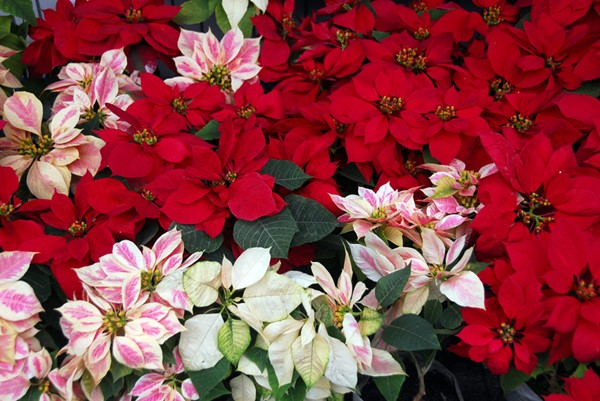 Growing Poinsettias All Year Long