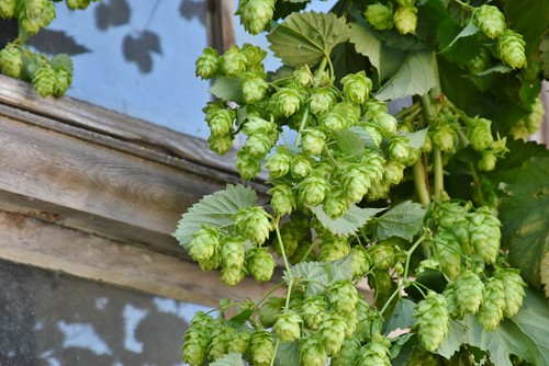 Growing Beyond the Norm: 3 Unexpected Climbing Plants for Your Garden Trellis