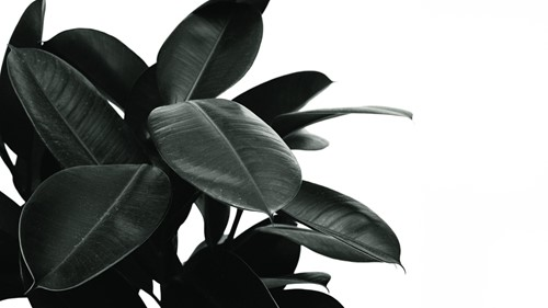 Add Drama and Contrast With These Dark Foliage Houseplants