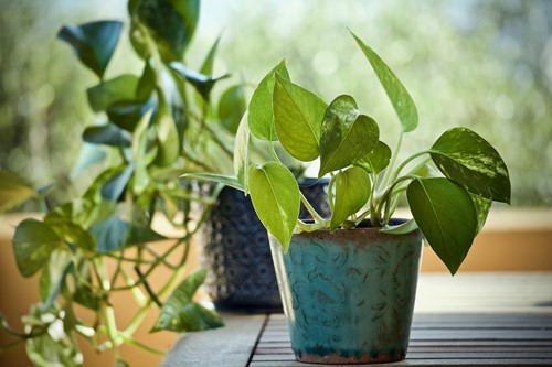 Ideas for Adding Climbing Plants to Your Decor