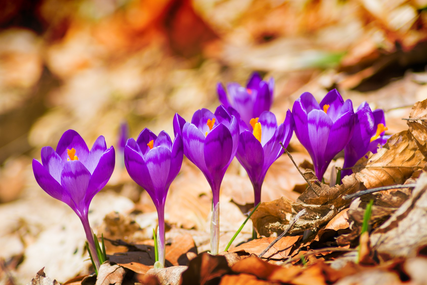 How to grow crocuses at home 35